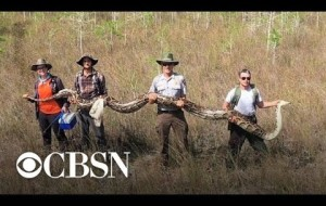Massive python found in South Florida wildlife preserve