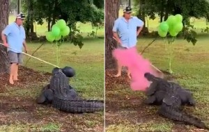 Pet alligator helps trapper's family reveal 10th baby's gender
